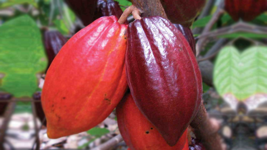 cocoa solids essay Once cocoa beans are harvested and roasted, the oil (cocoa butter) is then  separated from the other parts of the bean, called cocoa solids.