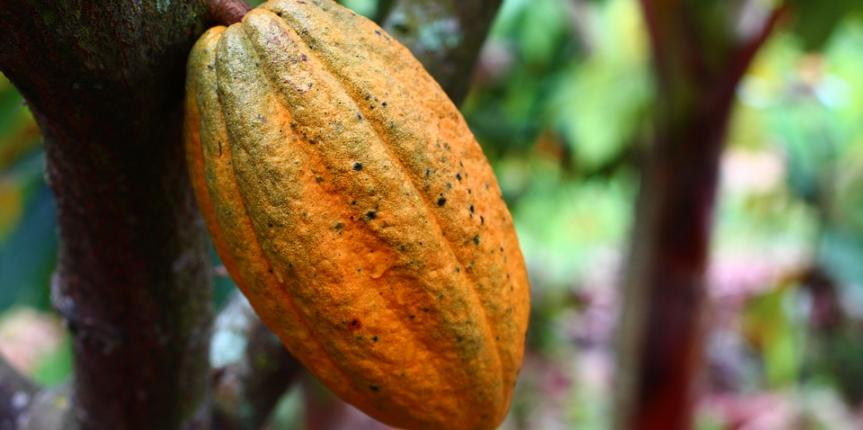 How many calories are present in Cocoa Beans?