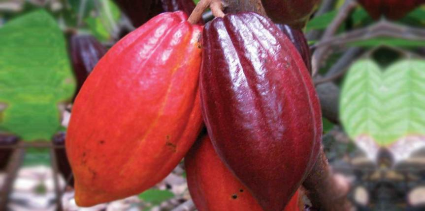 How to produce good quality Cocoa Beans?